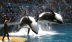 Seaworld is finally going to stop breeding orcas in all parks