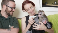 Amazing animals: Keeper Becomes 'Mum' To Adorable Baby Monkey