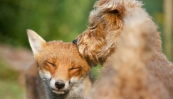 Out-Foxed: Hound won't share stick with fox friend