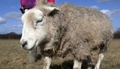 Meet The Oldest Sheep In The World