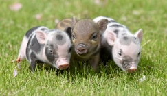 Perfectly Petite Piglets