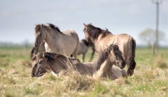 Wild Horses Spar In The English Countryside