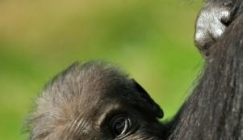 Rare Mountain Gorilla twins born in Rwanda