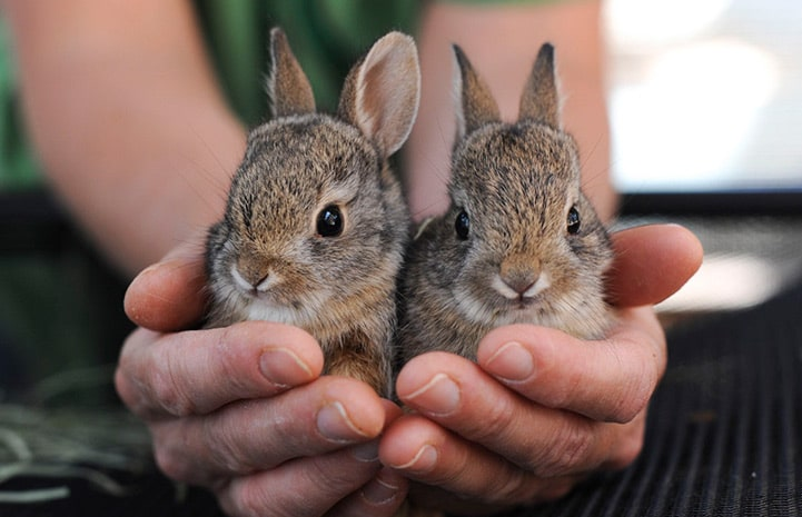 Two orphaned baby rabbits